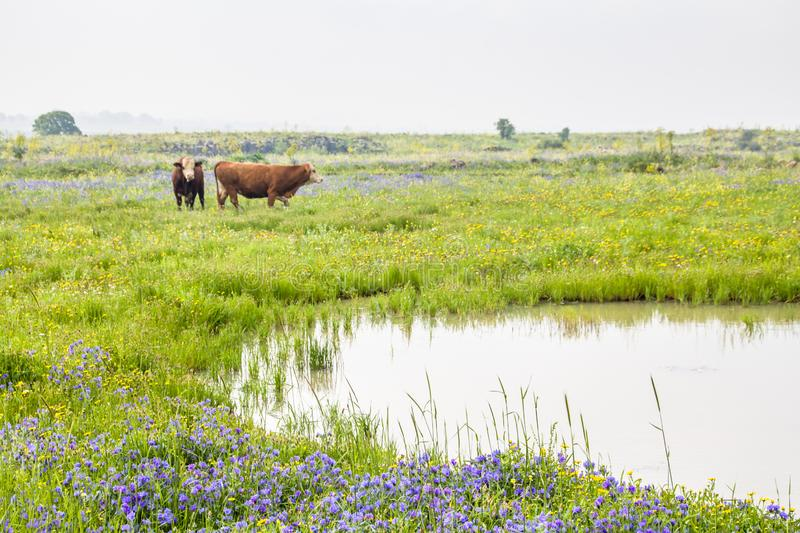 Beautiful rural landscapes of spring blooming meadow and pasture with two brown cows in a countryside landscapes. Background. copy space, environmental stock photos