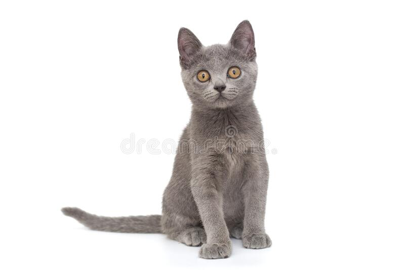 Beautiful Russian blue  kitten royalty free stock photo