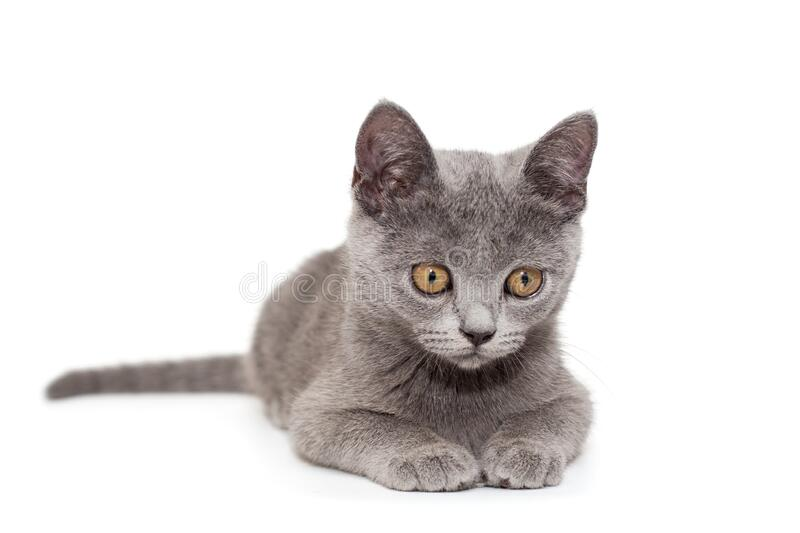 Beautiful Russian blue  kitten royalty free stock image