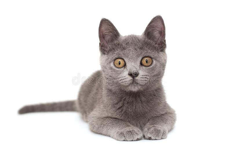 Beautiful Russian blue  kitten royalty free stock photography