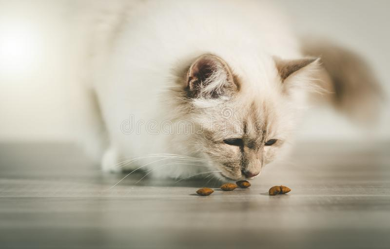 Beautiful sacred cat of burma eating dry cat food royalty free stock images