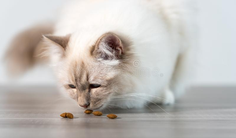 Beautiful sacred cat of burma eating dry cat food. On the floor royalty free stock photo