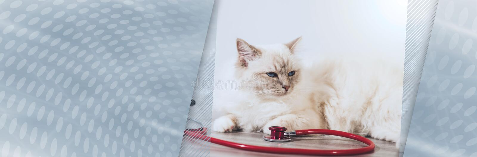 Beautiful sacred cat of burma with stethoscope. panoramic banner stock images