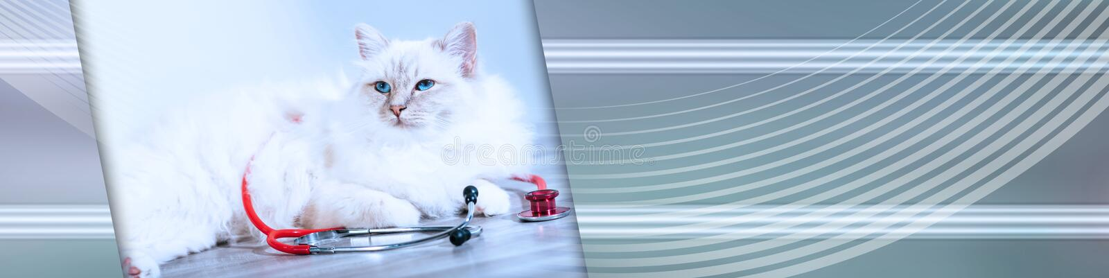 Beautiful sacred cat of burma with stethoscope; panoramic banner. Beautiful white sacred cat of burma lying on table with stethoscope; panoramic banner stock images