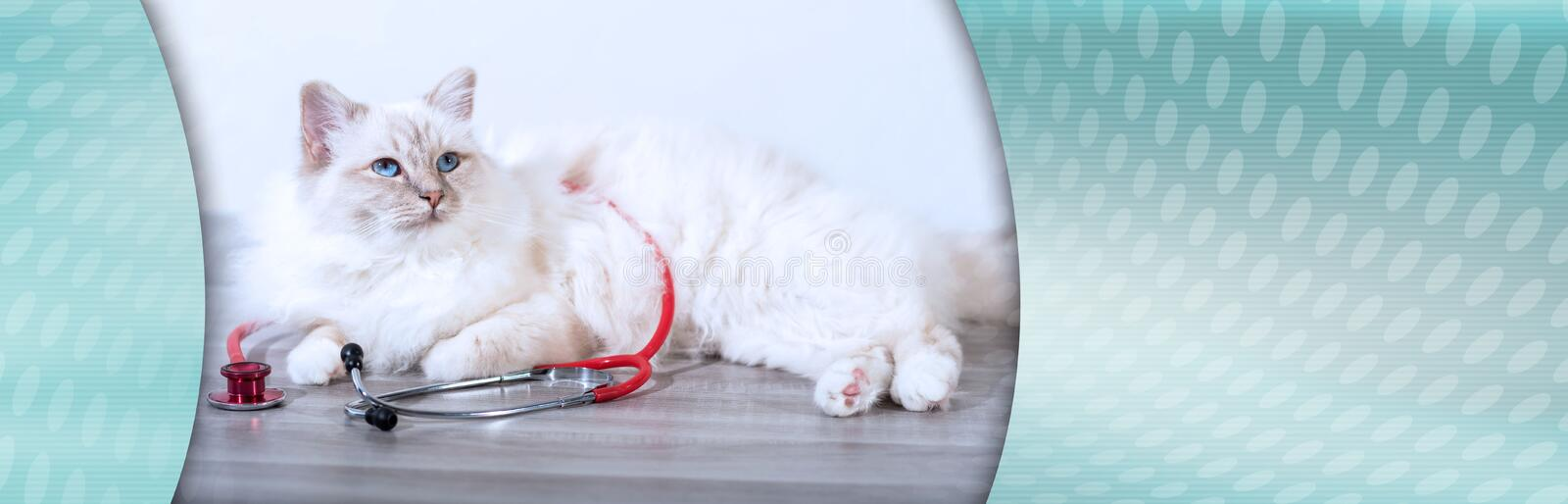 Beautiful sacred cat of burma with stethoscope; panoramic banner royalty free stock photos