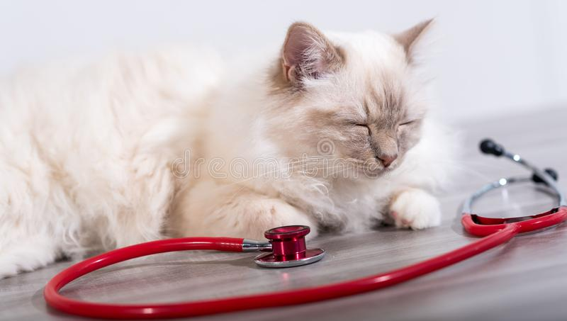Beautiful sacred cat of burma with stethoscope. Beautiful white sacred cat of burma lying on table with stethoscope royalty free stock photo