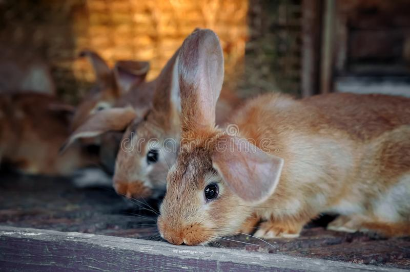 Beautiful sad eared red rabbit in a cage on the farm. stock photos