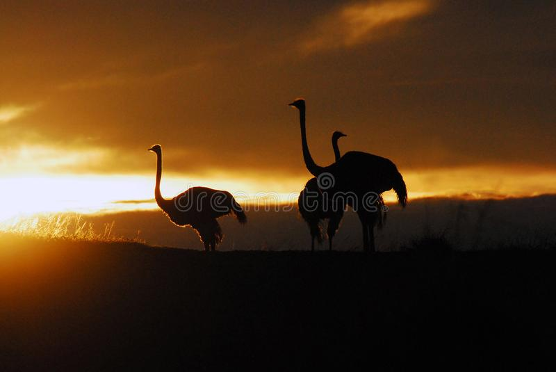 Africa- Ostriches in the Sunrise. Beautiful safari sunrise light on three wild Ostriches in South Africa stock image