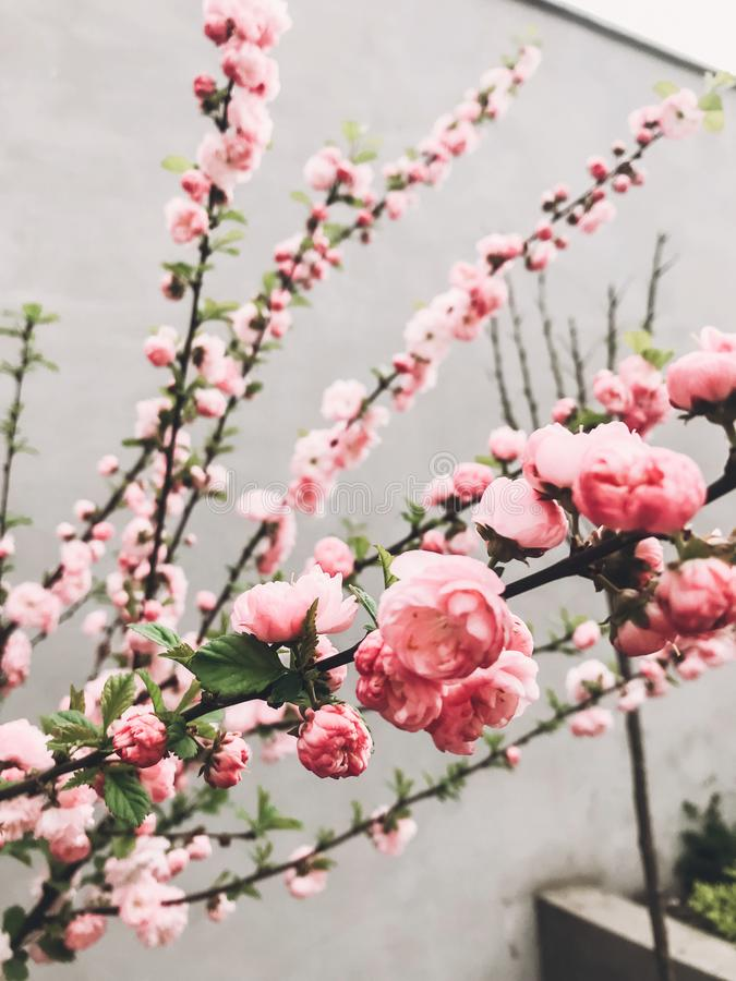 Beautiful sakura bloom in city street. Pink sakura cherry flowers on young tree branches on background of gray wall. Hello spring. Happy Mothers day stock images