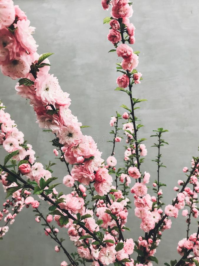 Beautiful sakura bloom in city street. Pink sakura cherry flowers on young tree branches on background of gray wall. Hello spring. Happy Mothers day royalty free stock image
