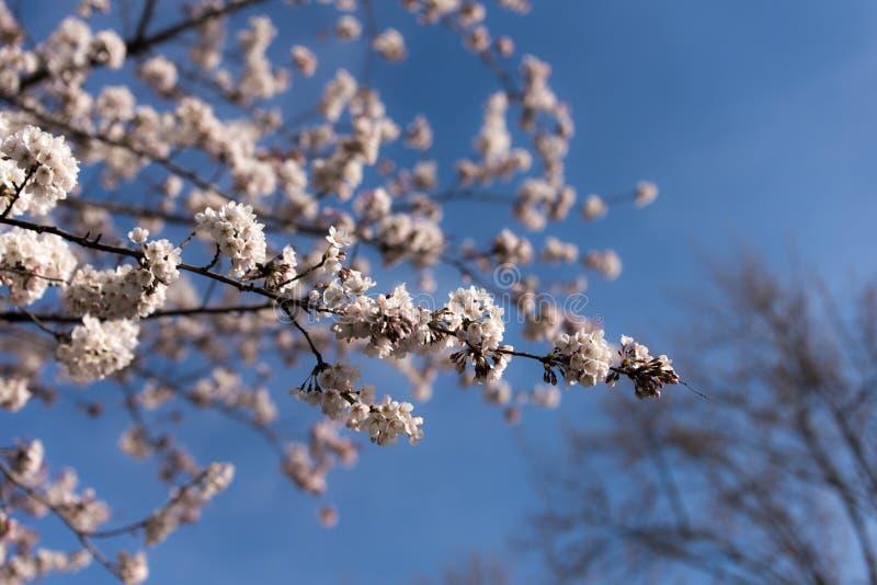 Beautiful Sakura in Canada stock image