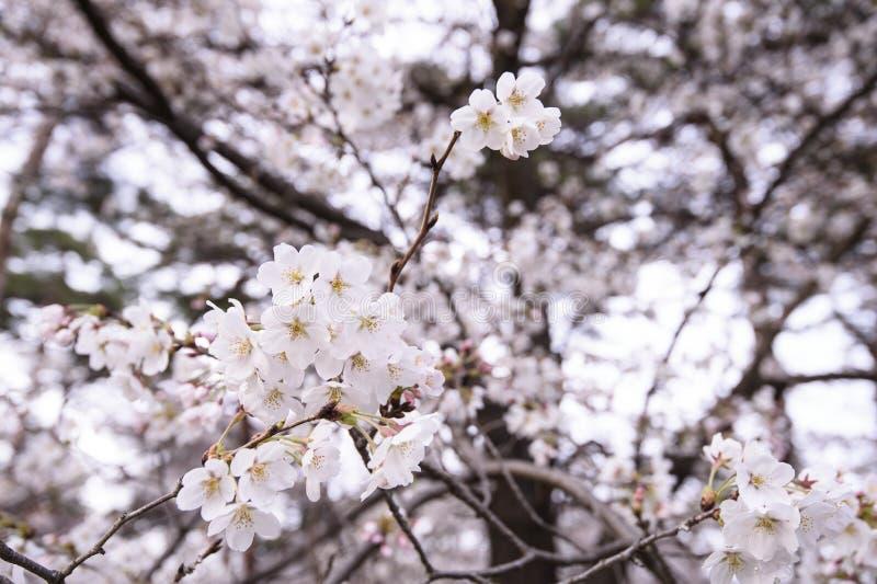 Beautiful Sakura Cherry Blossoms in Tokyo, Japan stock photos