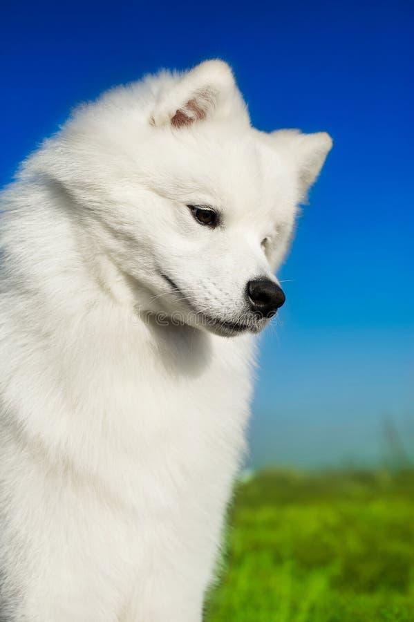 Download Beautiful Samoyed Dog Royalty Free Stock Image - Image: 22466846