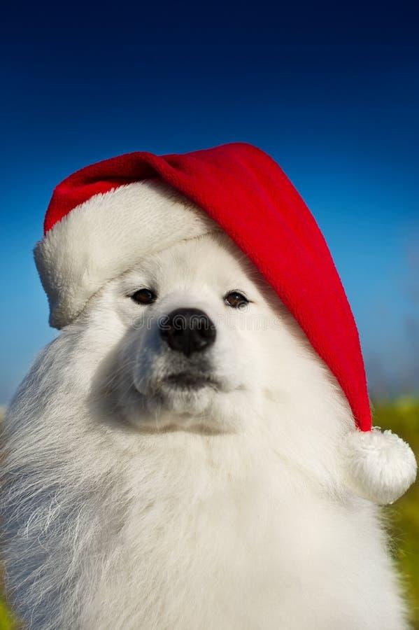 Download Beautiful samoyed dog stock photo. Image of canine, cute - 22466890