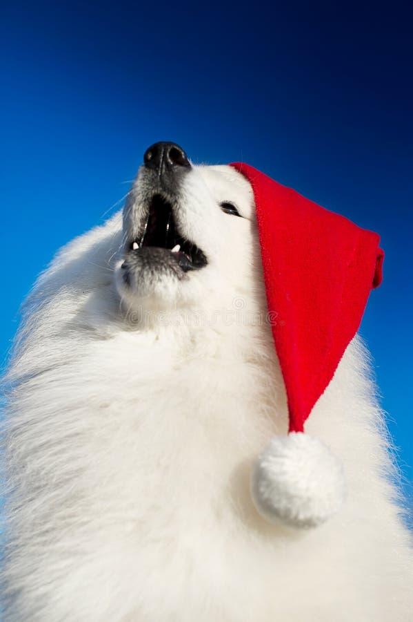 Download Beautiful samoyed dog stock photo. Image of fluffy, muzzle - 22466904