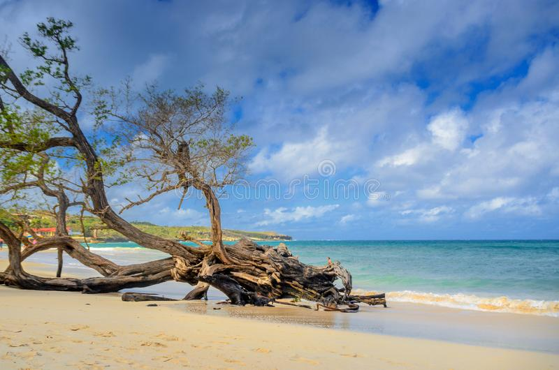 Beautiful sandy beach of the cuban coast with a big old tree royalty free stock photography