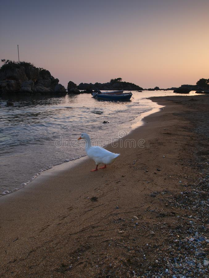 Beautiful sandy beach and duck royalty free stock photo