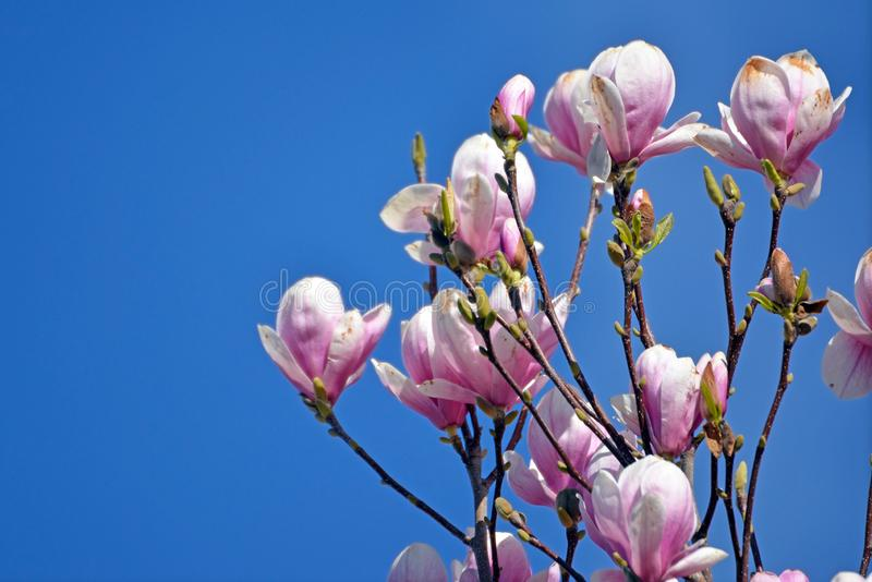 Beautiful Saucer Magnolia flower blossoms on tree in early spring royalty free stock images