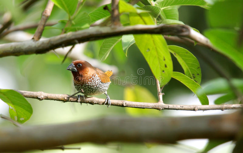 A Beautiful Scaly-breasted Munia Royalty Free Stock Image