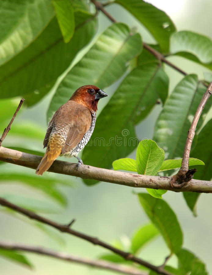 A Beautiful Scaly-breasted Munia Royalty Free Stock Photos