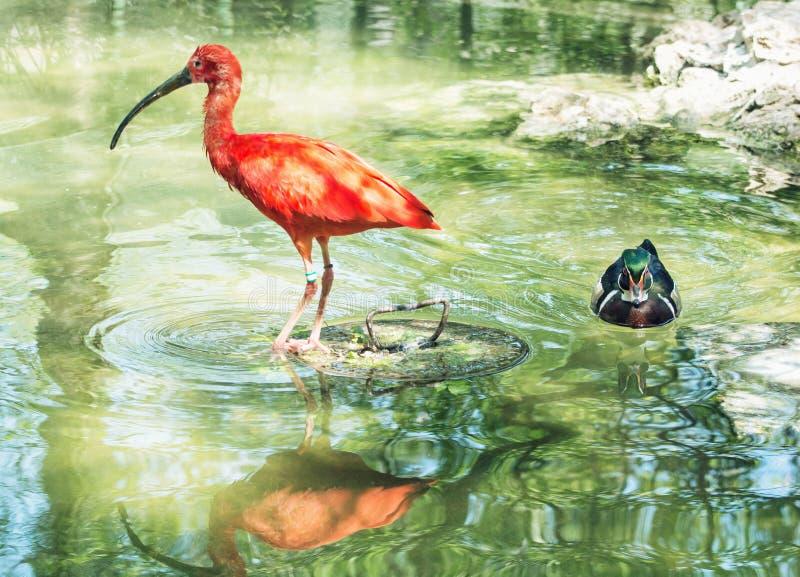 Beautiful Scarlet ibis (Eudocimus ruber) and Wood duck (Aix sponsa) in water. Animal scene royalty free stock photos