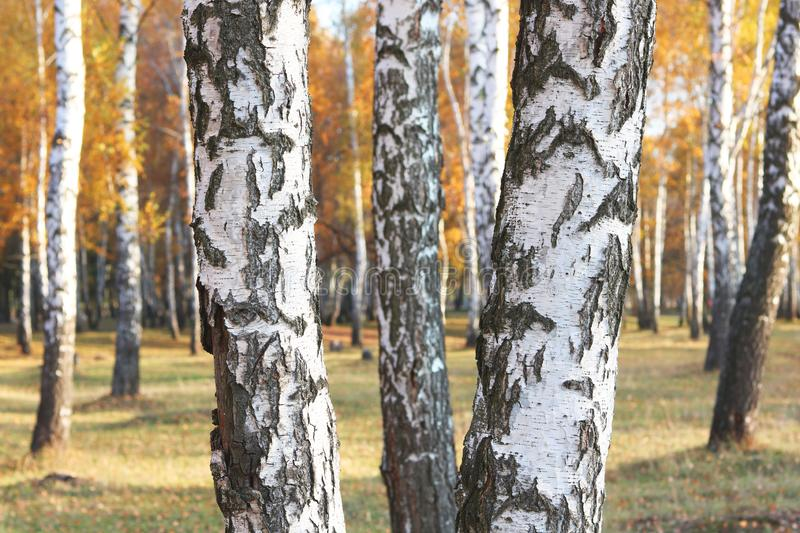 Beautiful scene with birches in yellow autumn birch forest. In october among other birches in birch grove royalty free stock photography