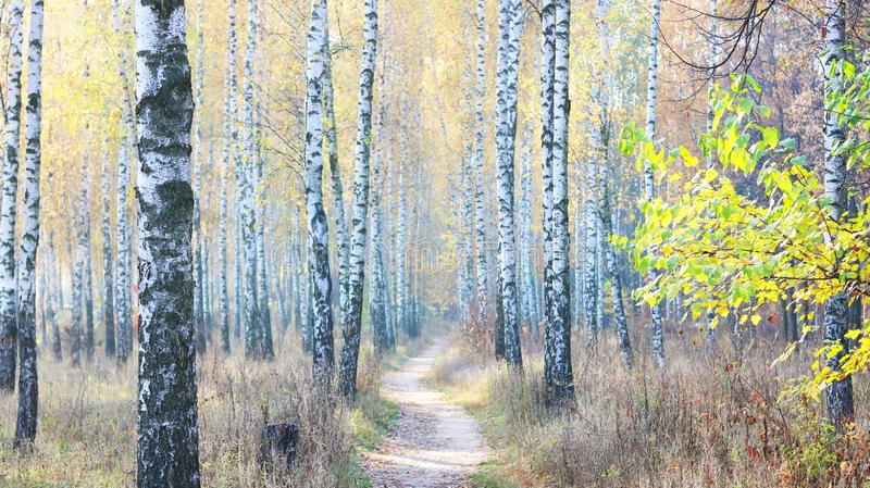 Beautiful scene with birches in yellow autumn birch forest. In october among other birches in birch grove stock image