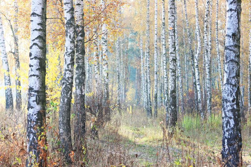 Beautiful scene with birches in yellow autumn birch forest. In october among other birches in birch grove royalty free stock images