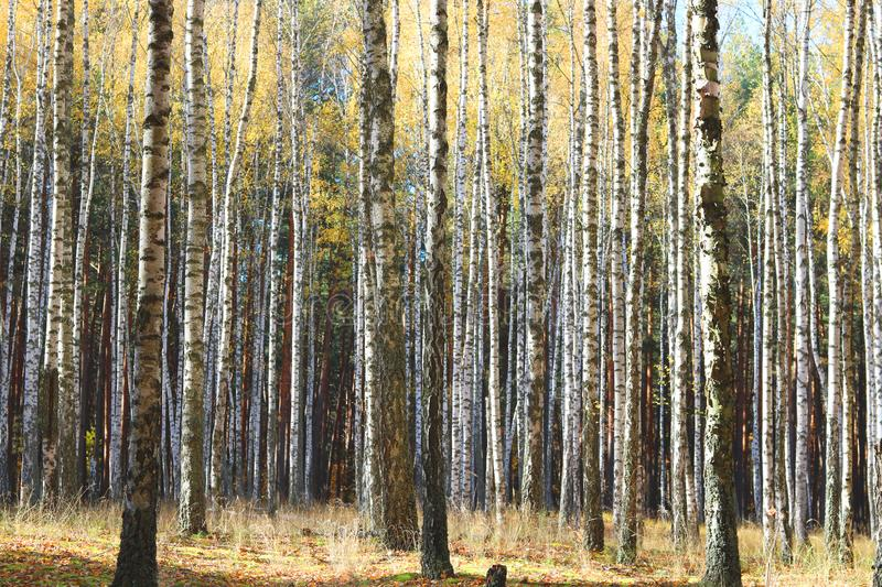 Beautiful scene with birches in yellow autumn forest. Beautiful scene with birches in yellow autumn birch forest in october among other birches in birch grove royalty free stock photography
