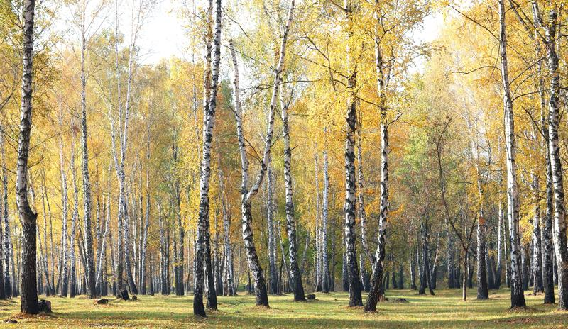 Beautiful scene with birches in yellow autumn forest. Beautiful scene with birches in yellow autumn birch forest in october among other birches in birch grove stock photography
