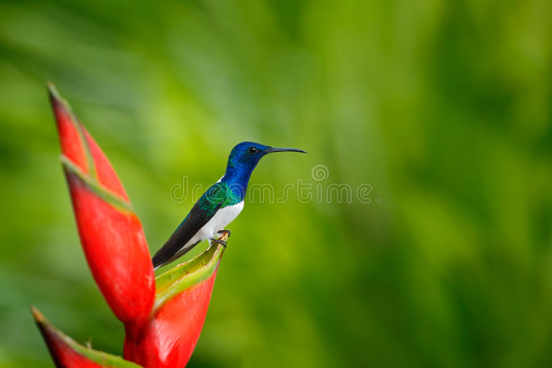 Beautiful scene with bird and flower in wild nature. Hummingbird White-necked Jacobin sitting on beautiful red flower heliconia wi. Beautiful scene with bird and stock photos