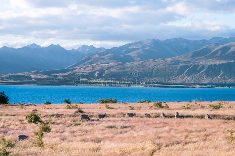 Beautiful scene of blue lake folk of sheep gazing on yellow grassland beside lake Tekapo before sunset. I. Beautiful scene of blue lake folk of sheep gazing on stock images