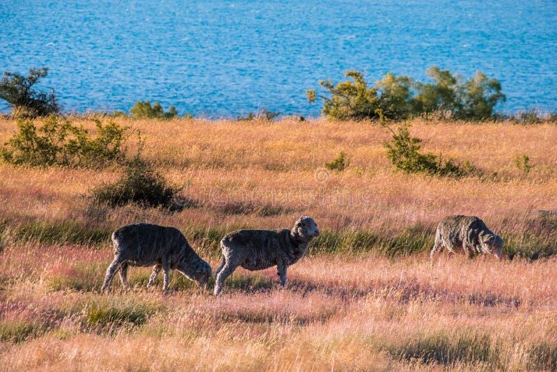Beautiful scene of blue lake folk of sheep gazing on yellow grassland beside lake Tekapo before sunset. I. Beautiful scene of blue lake folk of sheep gazing on royalty free stock image