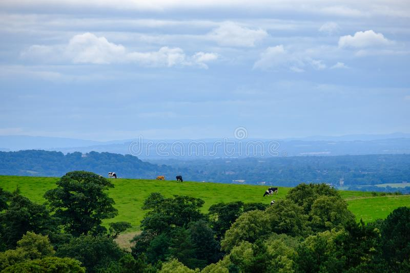 Beautiful scene of grazing cows at Lyme Park in the Peak District, Cheshire, UK. Beautiful landscape scene of grazing cows at Lyme Park in the Peak District stock photos