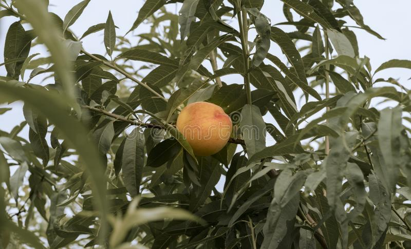 Beautiful scene with natural peach on the tree stock photos