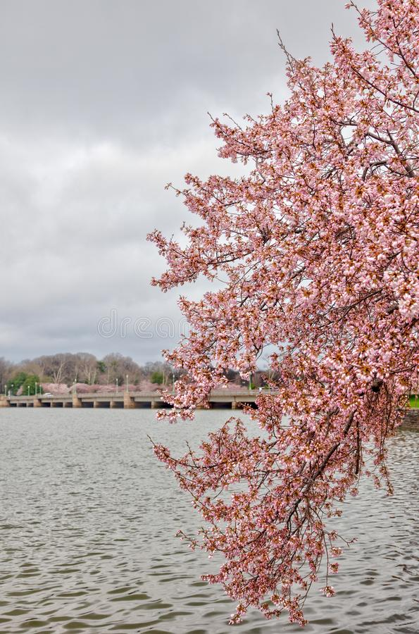 Cherryblossoms in Peak Bloom at Tidal Basin. A beautiful scene near the Tidal Basin in Washington, DC during peak Chery Blossom time. The Cherry Blossom Festival royalty free stock photo