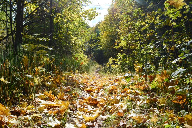 Beautiful scene with path with fallen maple leaves in autumn. Fairy landscape in forest. Sunny day in fall season stock image