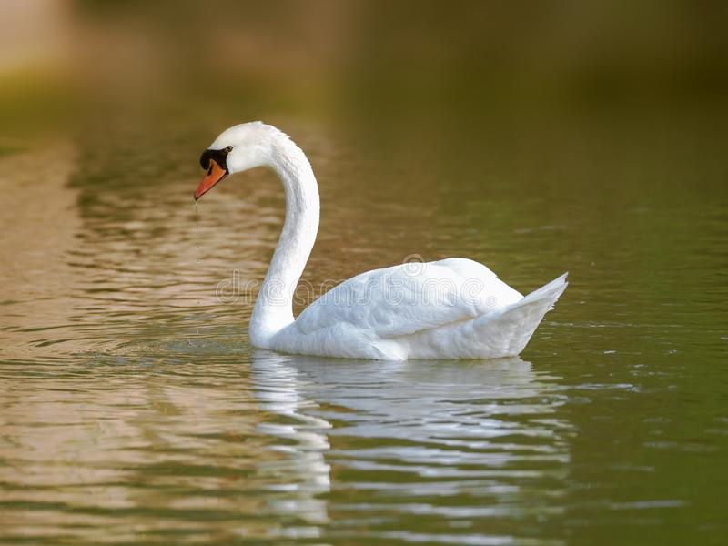 Swan swimming in the lake water at sunrise royalty free stock image