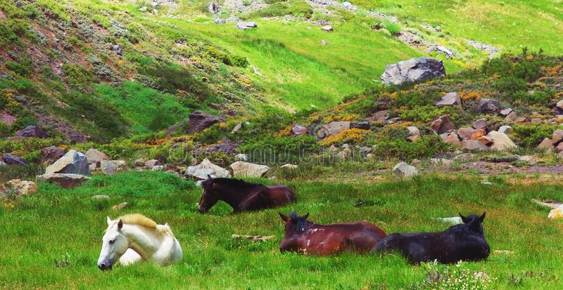 Wild horses resting in the meadow royalty free stock photography