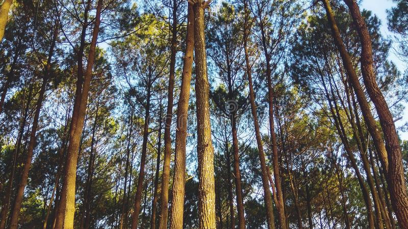 Beautiful scenery in the Indonesian pine forest for Wallpaper or Desktop background royalty free stock images