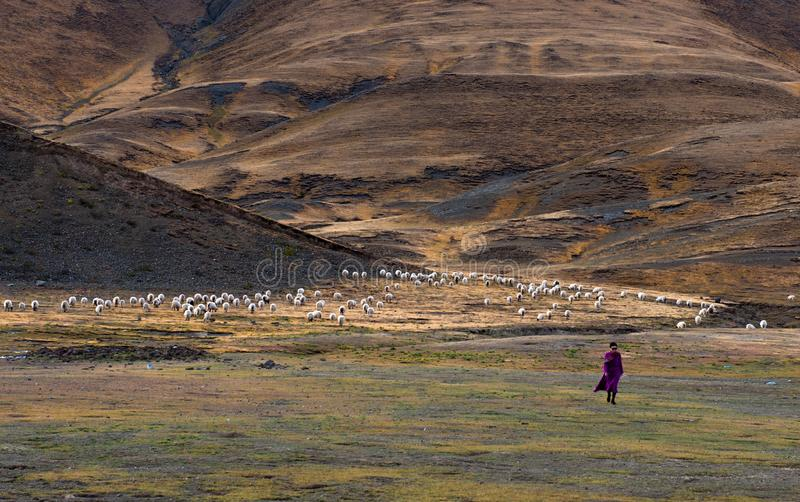 The Beautiful Scenery: Sheep and Woman. The beautiful scenery can be seen everywhere when we travelling in Tibet autonomous region of China. This is the stock photos