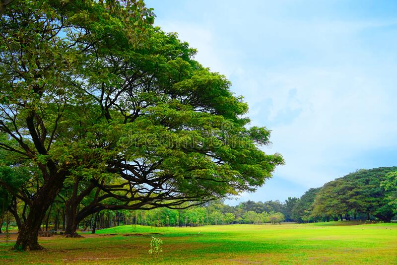 Beautiful scenery trees greenery park and fresh green lawn. Beautiful scenery trees greenery park and fresh green lawn with clear light blue sky background in royalty free stock photo