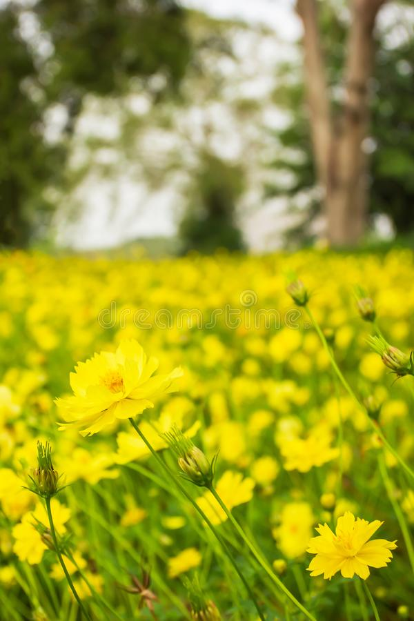 Beautiful scenery of yellow cosmos fields, blooming yellow cosmos flowers in agriculture farm. Bright and colorful on spring morning, tropical tree lined stock images