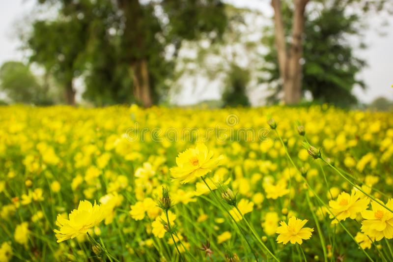 Beautiful scenery of yellow cosmos fields, blooming yellow cosmos flowers in agriculture farm. Bright and colorful on spring morning, tropical tree lined royalty free stock photo