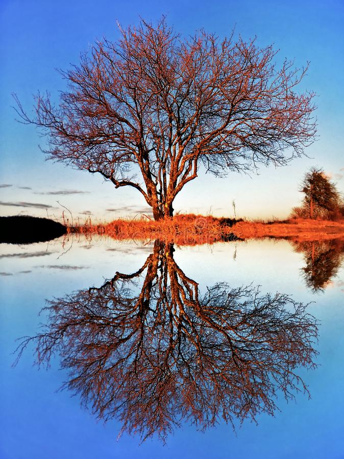 Beautiful scenic landscape of bare autumn tree by lake with reflection on water surface and blue sky. Duality in nature concept royalty free stock image
