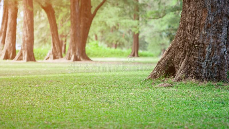 Beautiful scenic view of morning sunlight in public park with pine tree and green grass field. Summer nature background texture. stock photos