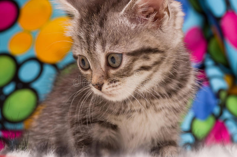 Beautiful Scottish Young Cat Royalty Free Stock Photography