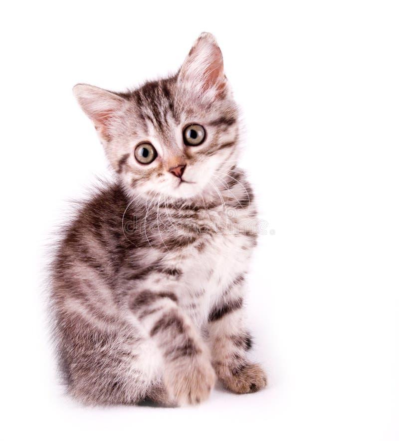 Download Beautiful Scottish Young Cat Stock Photo - Image: 26833464