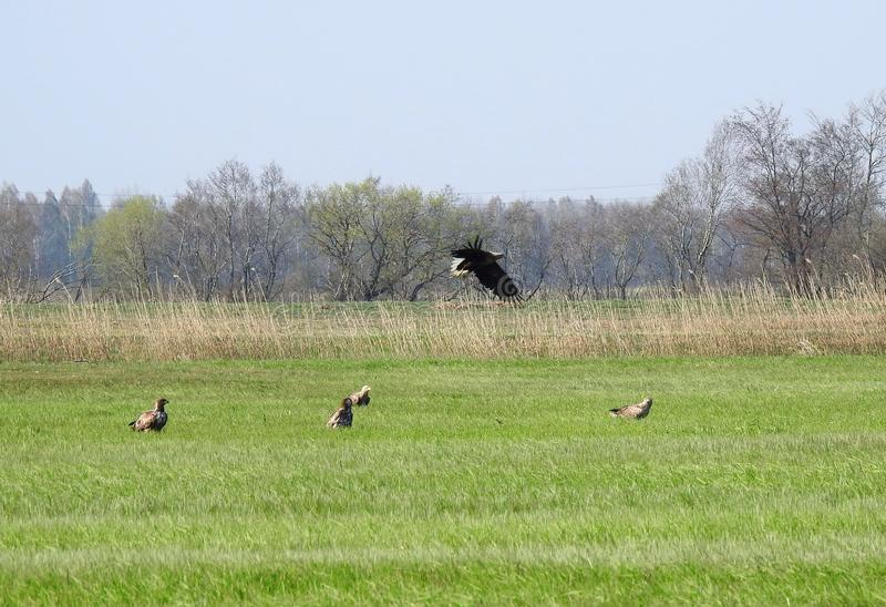 Sea eagle birds in flood field, Lithuania stock images
