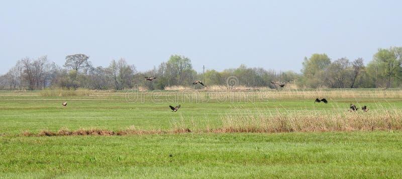 Sea eagle birds in flood field, Lithuania stock photos